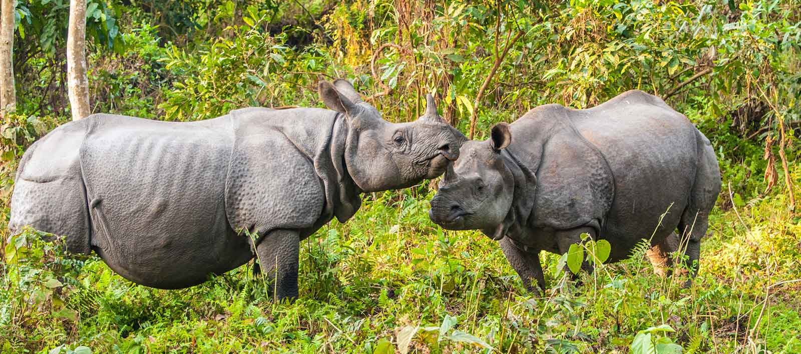one-horned-Rhino-Assam