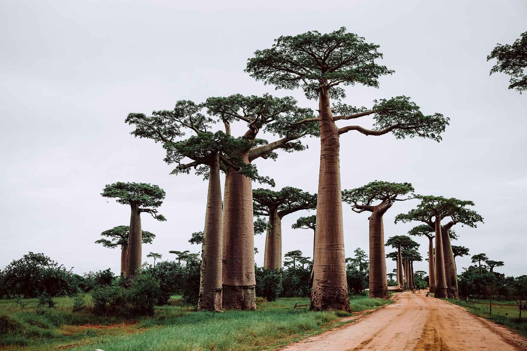 Baobab-alley-Madagascar