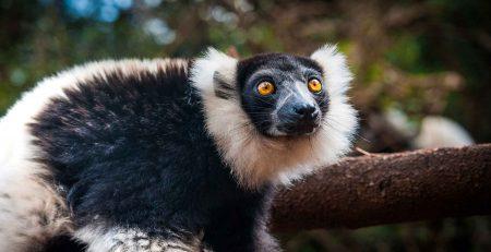 Indri Lemur-Andasibe Mantadia